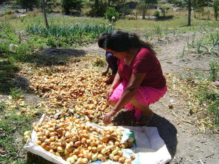 IMA comprará producción de cebolla