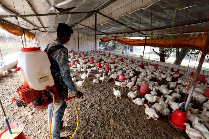 India trata de contener varios brotes de gripe aviar y su contagio a humanos