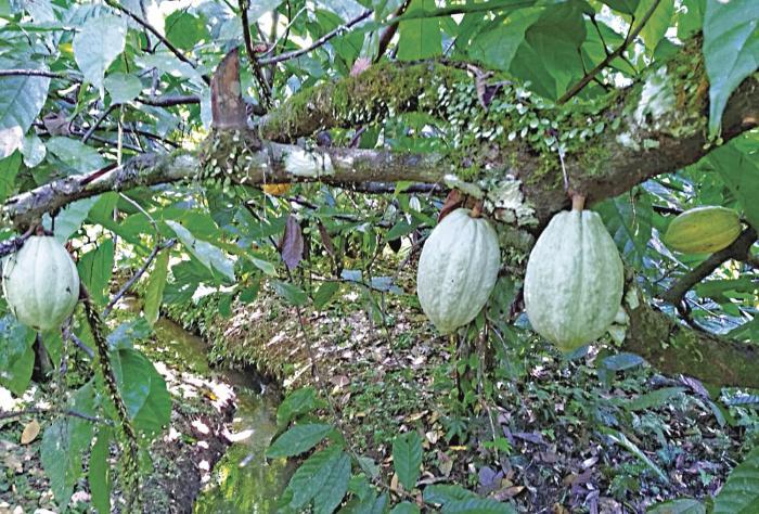 El cacao panameño ante el desafío de elevar la producción y respaldar a los productores