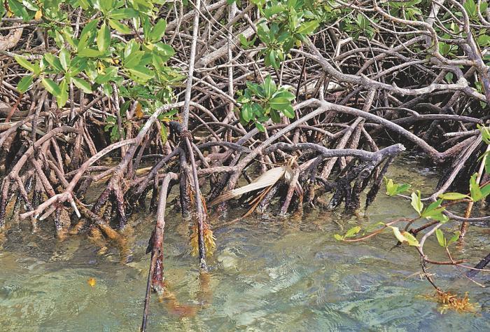 Manglares, escudos acuáticos de la naturaleza