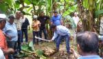 Autoridades panameñas coordinan acciones contra el hongo de la marchitez del plátano y banano