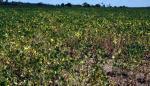 Panamá vigilará cultivos con un sistema de la FAO para mitigar los efectos de la sequía