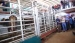 Gobierno entrega $96,750 enganado bovino puro para mejorar genética