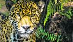 Gatos silvestres, depredadores amenazados