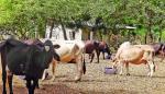 Sacrificarán animales contagiados con tuberculosis