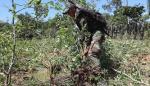 Miembros de la Fuerza de Tarea Conjunta (FTC) realizan la erradicación concertada de los cultivos excedentarios de la hoja de coca el 6 de septiembre de 2018.