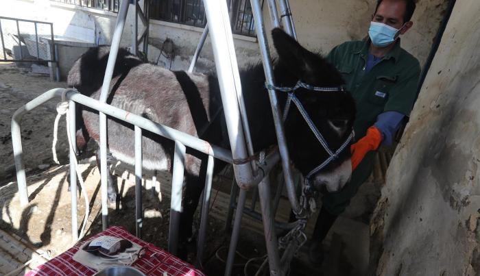 """El coordinador de la división de producción del INLASA, Williams Velasco, realiza la """"sangría"""" a uno de los burros para obtener el plasma"""