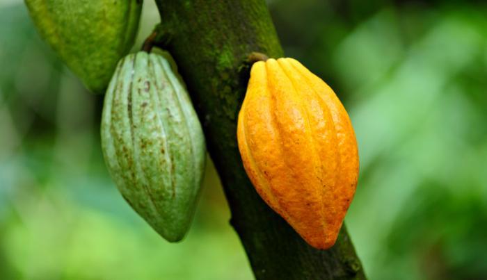 Cacao panameño