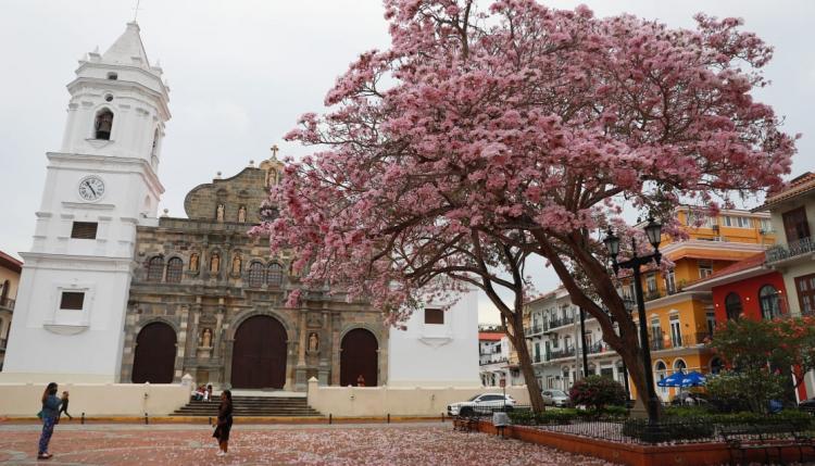 Las flores de los robles rosados están en su máxima expresión de belleza