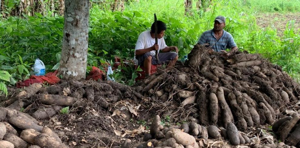 Productores de ñame, en Darién, realizan su cosecha