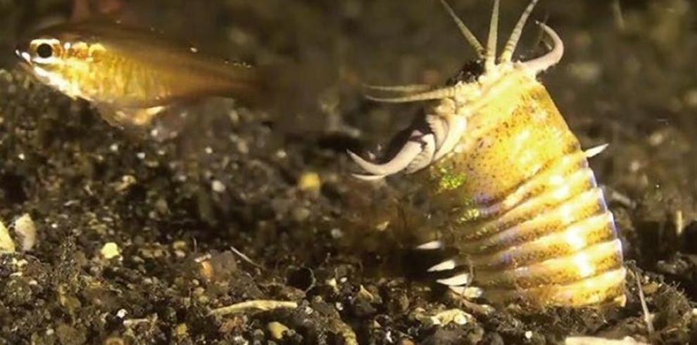 Fósil de gusanos depredadores de la Edad Miocena