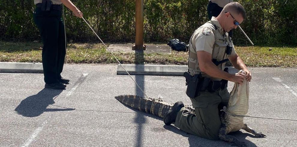 Comisión de Conservación de la Vida Silvestre y Pesca de Florida (FWC) controlando un cocodrilo de 1,8 metros (6 pies) que merodeaba en el estacionamiento de un local de la hamburguesería