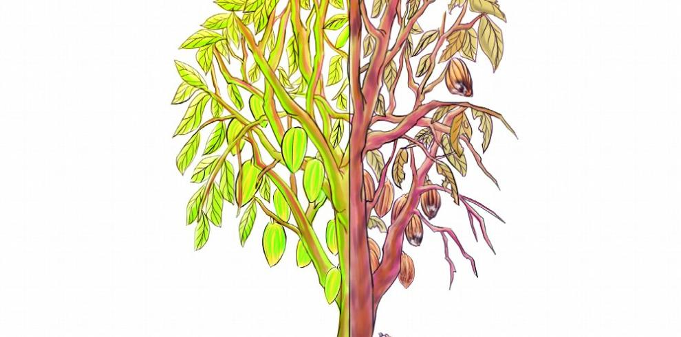 Descubren hongos que protegen a los árboles de cacao contra enfermedades