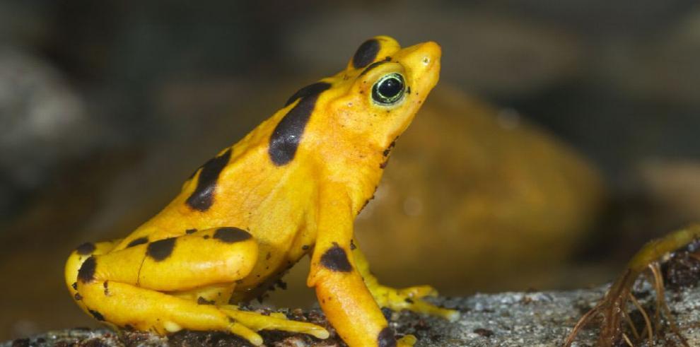 La rana dorada, aún resignada al cautiverio