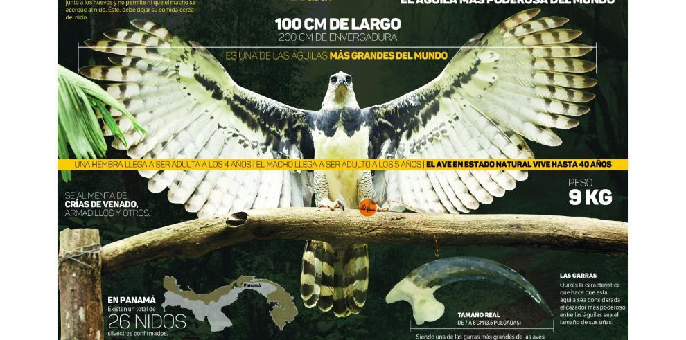 El águila Harpía, un patrimonio que estamos obligados a cuidar