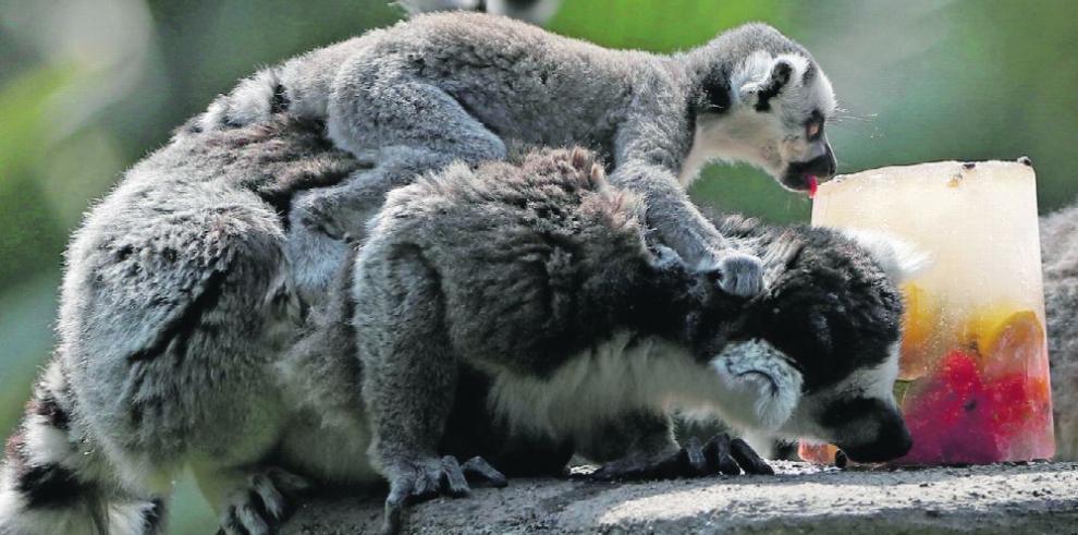 Endulzan la vida de los animales de zoo en Semana Santa