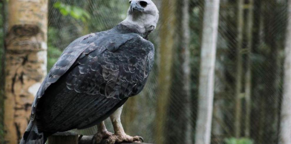 Hurtan águila harpía del Parque Municipal Summit