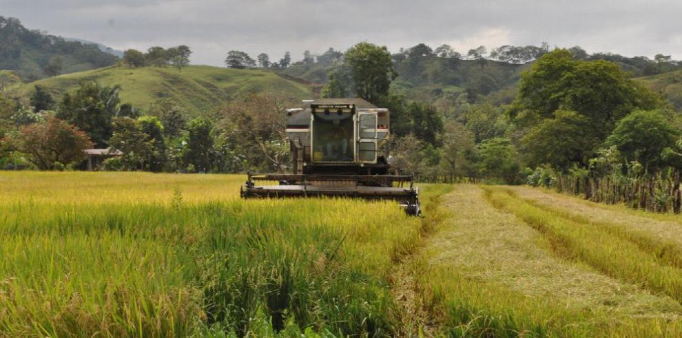 Se reduce el hectareaje de arroz sembrado