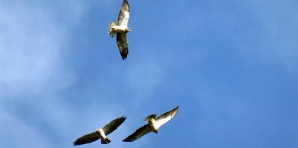 El vuelo de regreso a casa de las águilas cuaresmeras pasa por Colombia