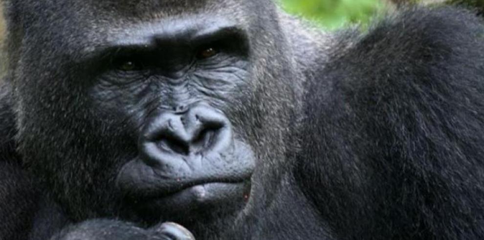 La sociabilidad entre gorilas, un hándicap en la transmisión de infecciones