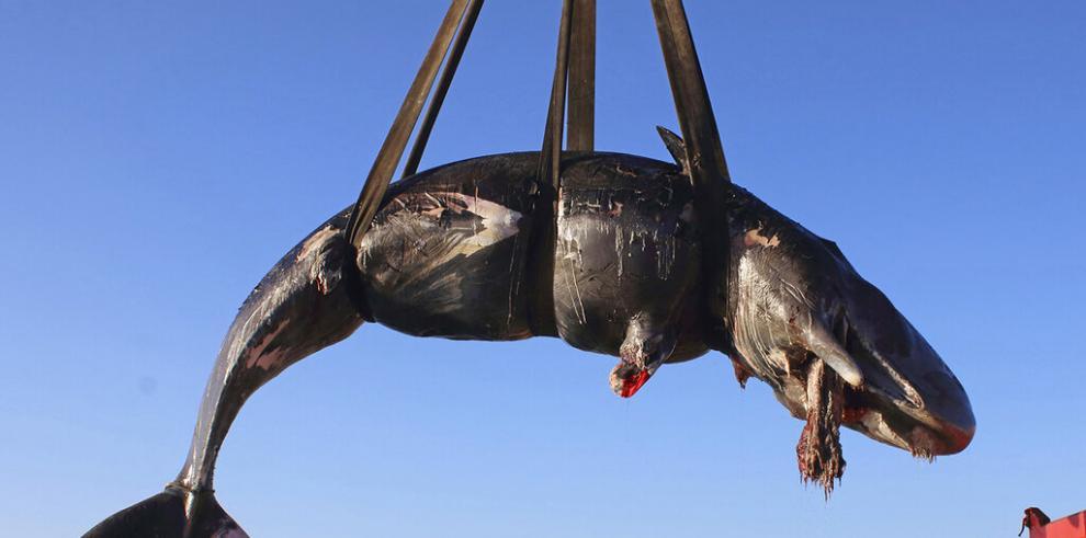 Hallan en Italia ballena muerta con plástico en su barriga