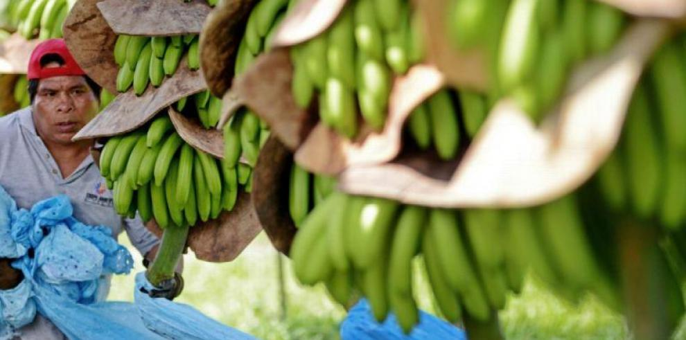 Destacan que el banano y la seguridad alimentaria mundial van de la mano