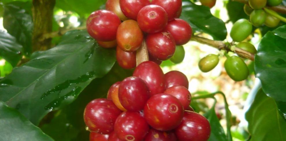 Panamá tendrá sistema de alerta de la roya del café