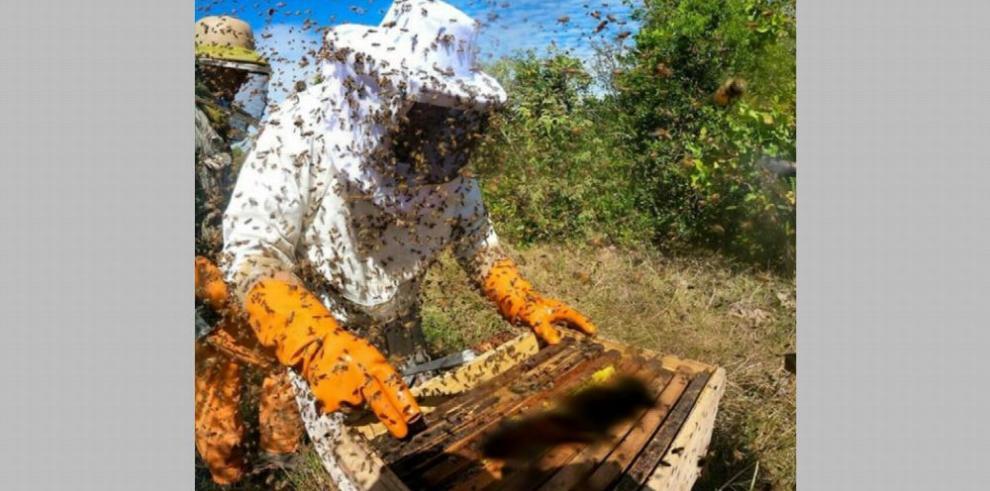 Abejas en Panamá producen miel de alta calidad