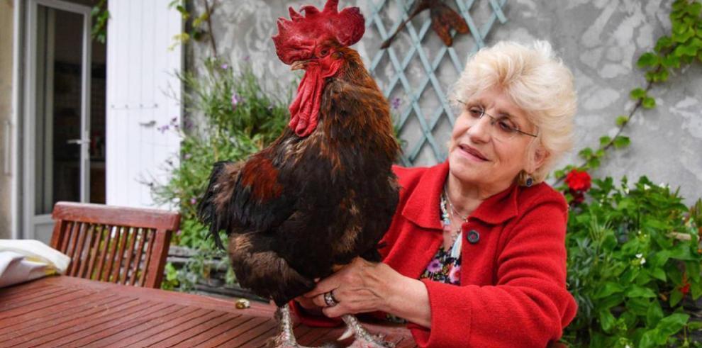 ¡Insólito! Aplazan juicio contra un gallo en Francia