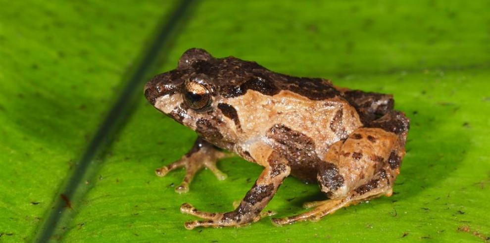 Descubren en Ecuador minúsculas ranas de fácil adaptación a zonas altas