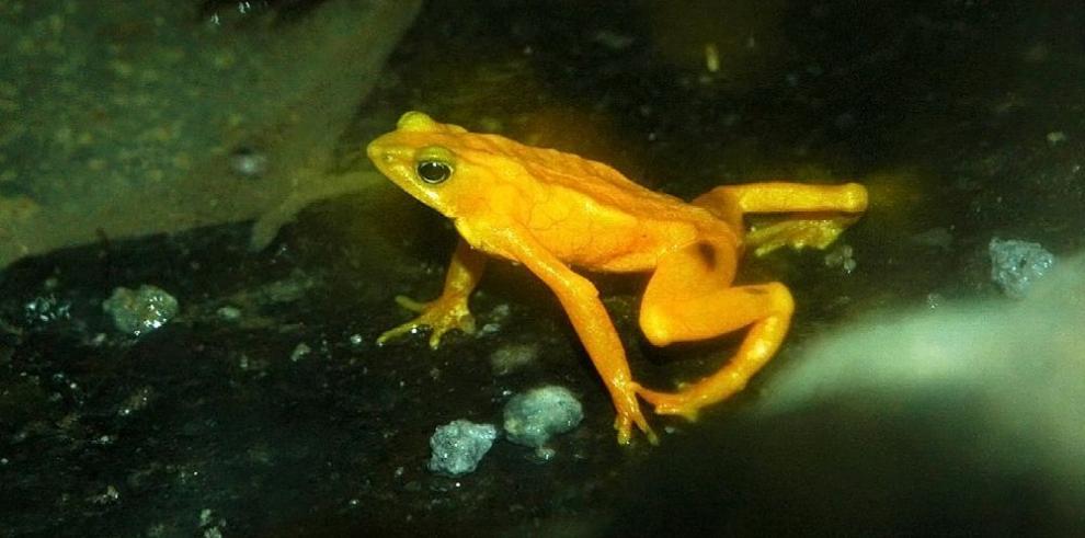 Smithsonian impulsa criopreserva de esperma de ranas