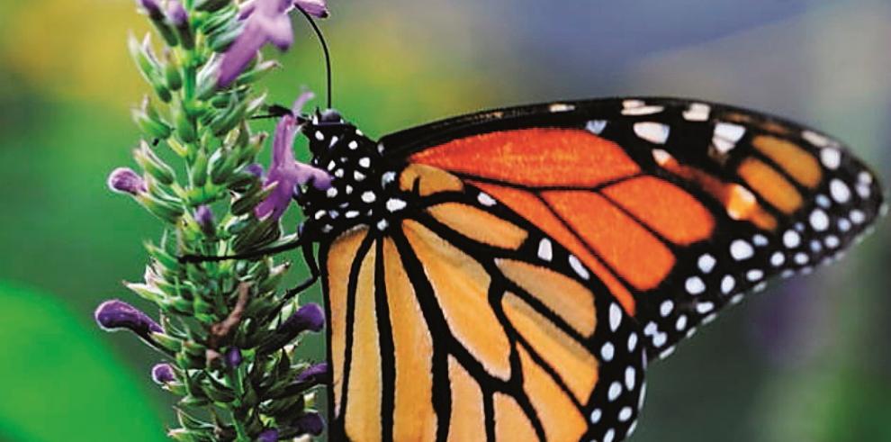 Migración de la mariposa monarca corre riesgo por deforestación
