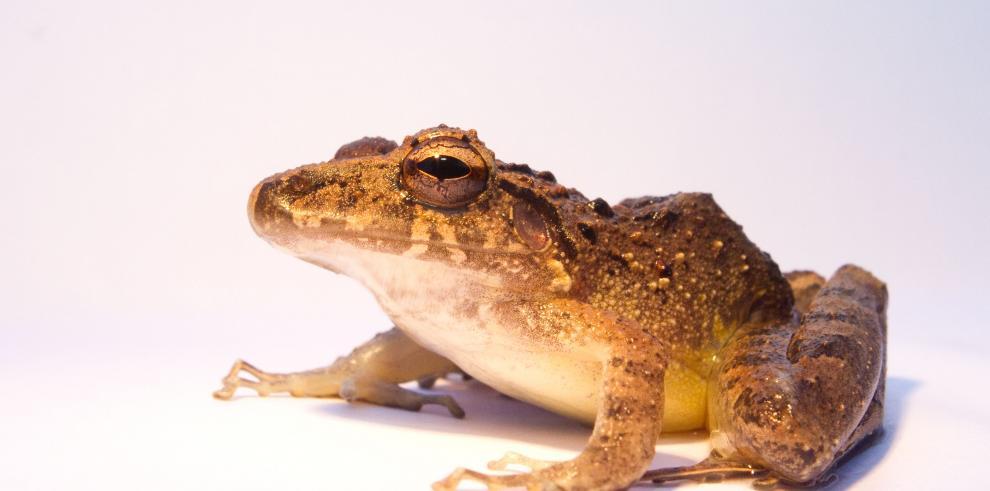 Estudian acción de bacteria en la piel de ranas contra infecciones en humanos