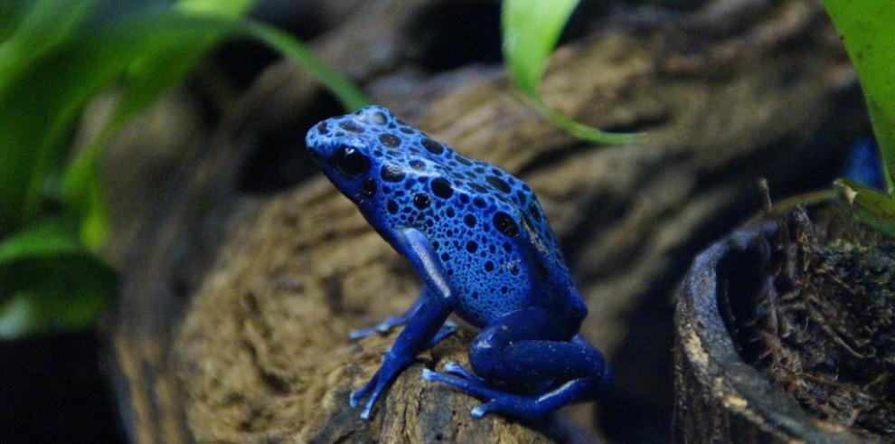 Decomisan en Bogotá 400 ranas venenosas que serían enviadas a Alemania