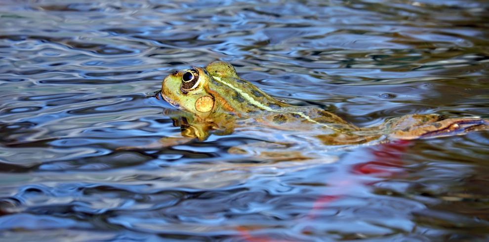 El zoo de La Paz tendrá un área para proteger a la rana gigante del Titicaca