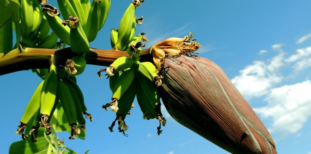 Alerta en Panamá por temible hongo para banano y plátano hallado en Colombia