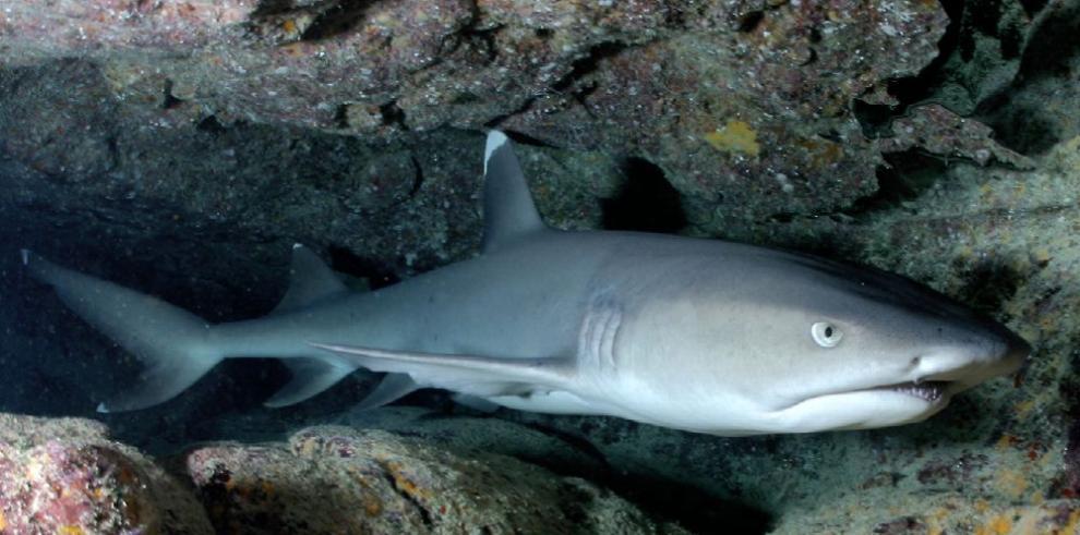 Estudian tiburones y rayas para ordenar las pesquerías