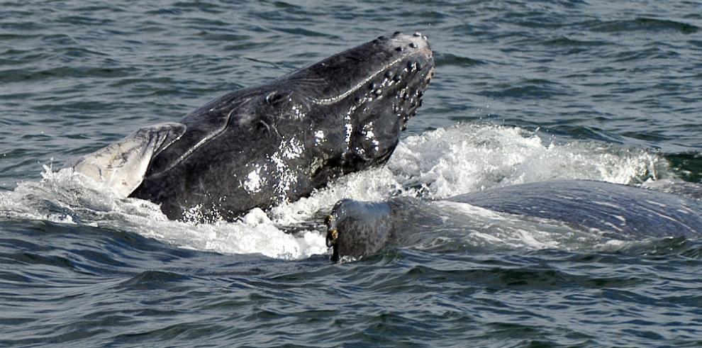Panamá se prepara para el espectáculo del avistamiento de ballenas