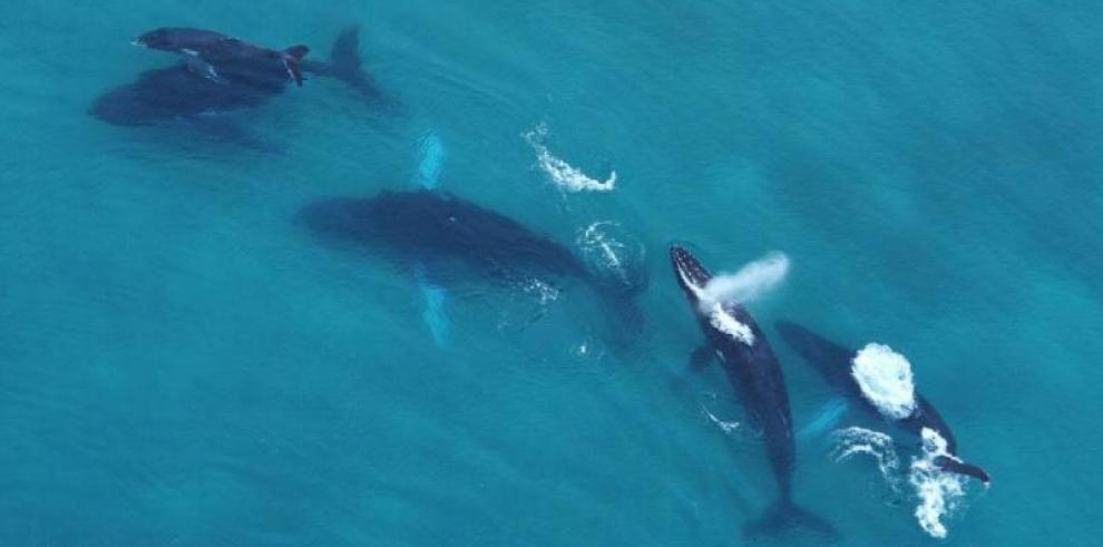 Lanzan temporada de ballenas 2019en Panamá