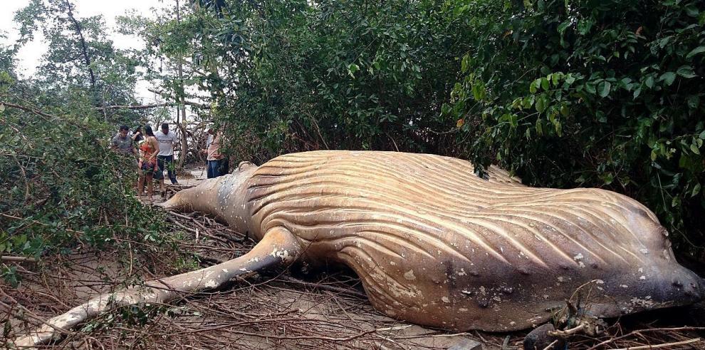 Hallan una ballena jorobada en un manglar de la Amazonía brasileña