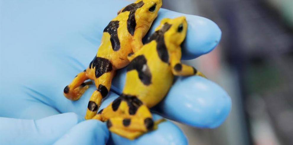 Congelan espermatozoides de la rana dorada en Panamá para evitar la extinción