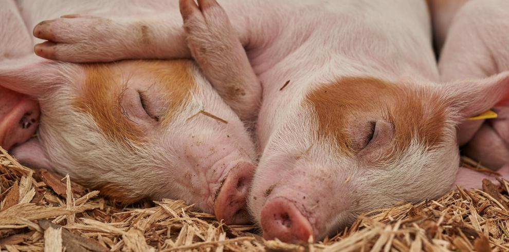 Panamá prohíbe la importación de cerdo de países afectados por peste porcina