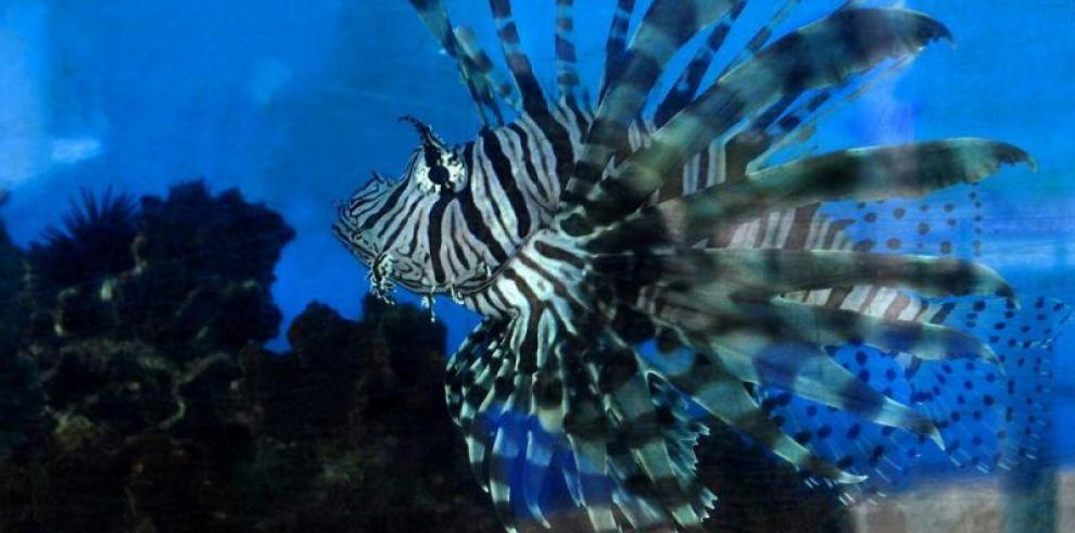 Promueven en Panamá consumo del pez león, una