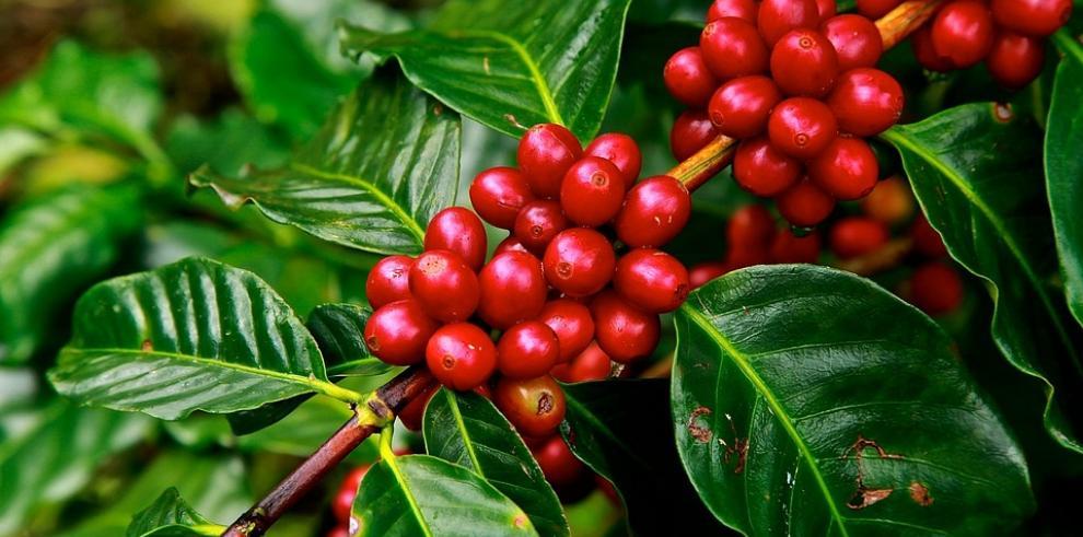 Esperan cosechar 140 mil quintales de café en zafra de Chiriquí