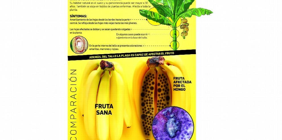 Plaga del banano podría dejar pérdidas millonarias