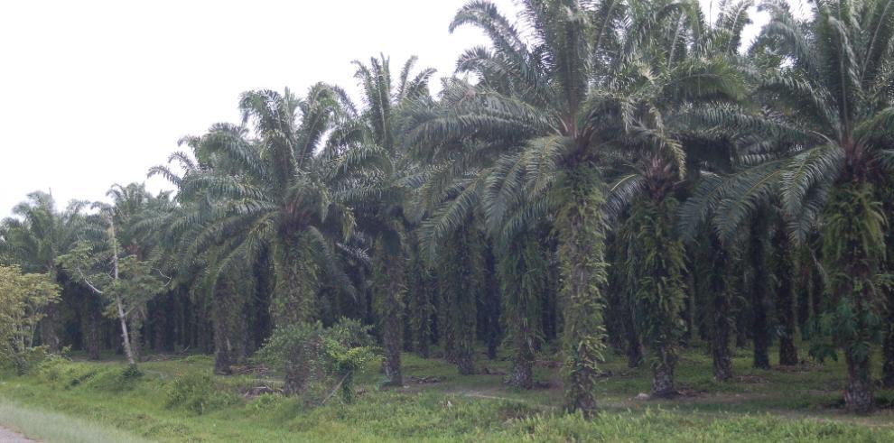Precio exportable del aceite de palma vuelve a caer al de 2016