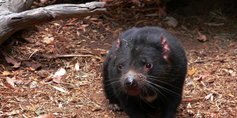 ¿Por qué los demonios de Tasmania aprenden a vivir con un tumor facial mortal?