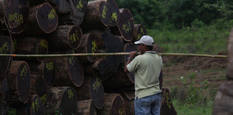 El 32% de la madera que se comercializa en Panamá es ilegal
