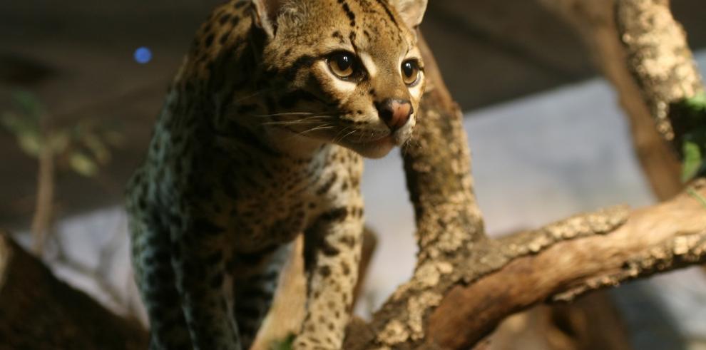 Declaran primer sábado de marzo como Día Nacional de los Felinos Silvestres