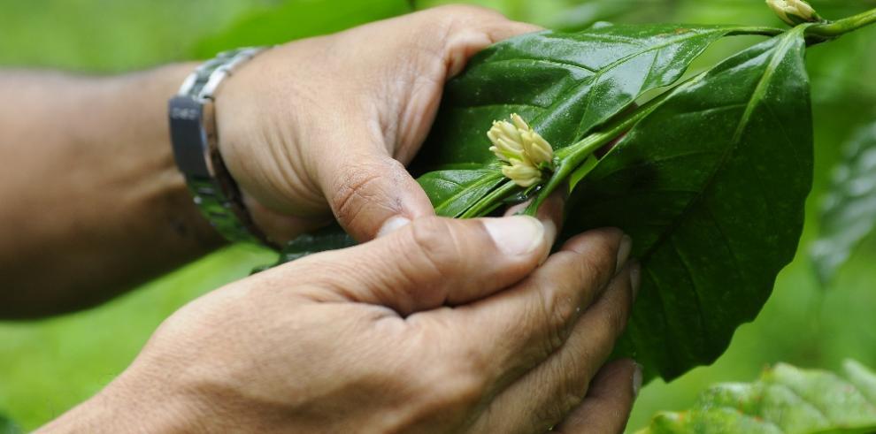 El café, una solución inesperada para preservar el Canal de Panamá